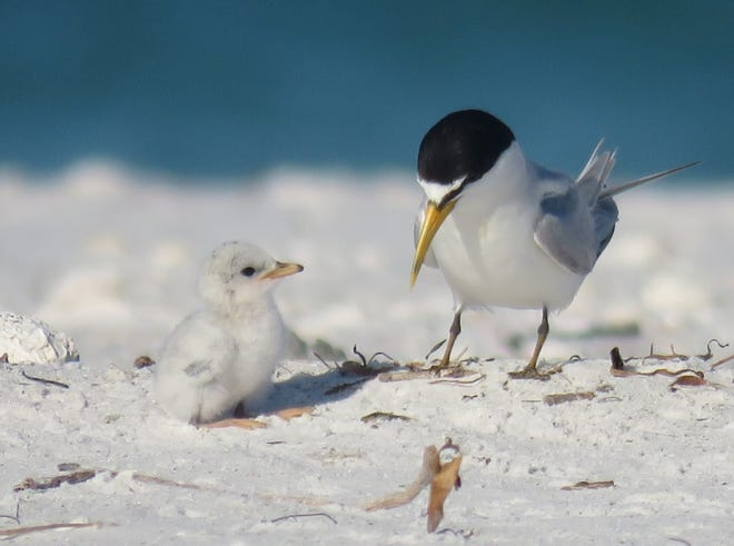 A least turn bird searches the beach for food with her chick.
