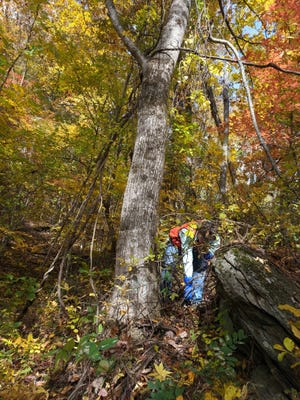 A worker with EcoForesters removes Oriental Bittersweet, an invasive species. EcoForesters has launched a new fund to help land trusts control invasive species and otherwise manage permanently protected lands.