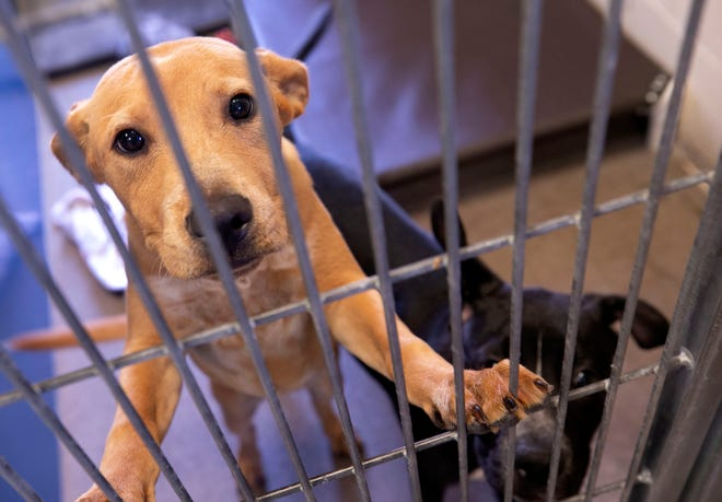 A dog at the Maricopa County Animal Care and Control Shelter in Phoenix on June 25, 2021. The shelter is at full capacity with over 500 dogs and cats, many of which can be adopted.