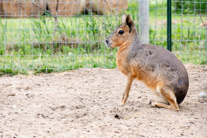 A Patagonian Cavie sits in a pen at Timber Creek Petting Farm Thursday, June 24, 2021, in Lexington.