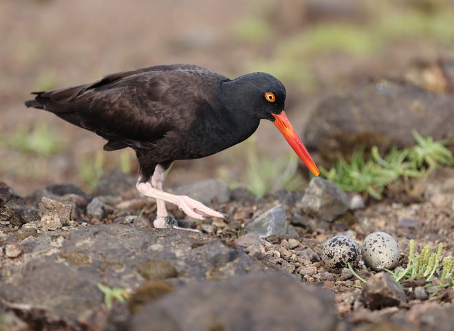 A black oystercatcher at Boiler Bay on the Oregon Coast. The birds, who've seen their numbers drop as low as 500 birds in Oregon, have been impacted by drones that scare them off their nests, a trend that appears to be growing.
