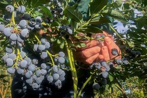 A woman picks blueberries at a farm near Gervais.