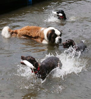 Kody, a one-year-old St. Bernard belonging to Josh Pollock of Massillon, doesn't quite know what to make of the energetic German Shorthair Pointers belonging to Jim and Paulette Branch of Green, the owners of Rubber City Gun Dogs, as the dogs all play in the water at the Portage Lakes State Park Dog Park on Monday in New Franklin, Ohio.