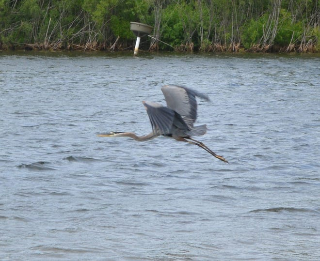 Pictured is a Purple Heron as it flies across Lakeland Park waters. It is a rare sight to see this beautiful bird.