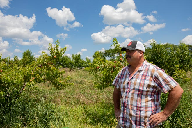 Brian Hesler, owner of Paige's Produce, surveys his orchard of peach trees in Amanda. Hesler owns about 60 acres of land where he grows peaches, apples, sweet corn and greens among other produce.