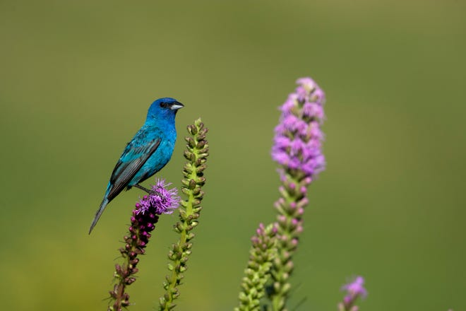 MDC encourages people to celebrate the Fourth-of-July weekend by discovering red, white, and blue in nature. Upperparts of the adult male indigo bunting are turquoise blue when seen in sunlight. Otherwise they appear dark blue or blackish.