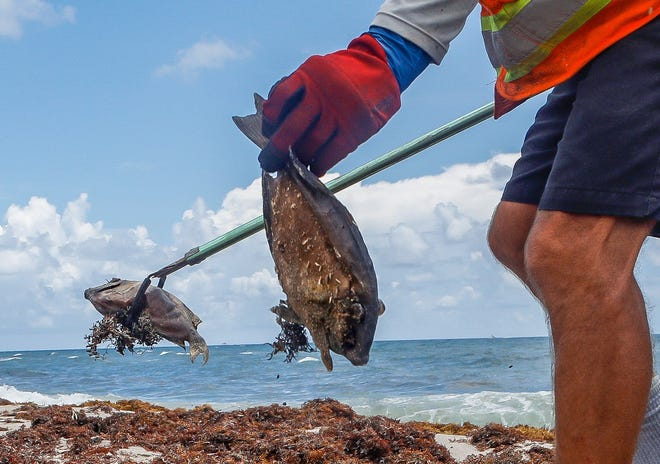 Workers from Universal Beach Services Corp. remove dead fish that began washing up near Root Trail north of The Breakers in Palm Beach this weekend, Monday, June 28, 2021.