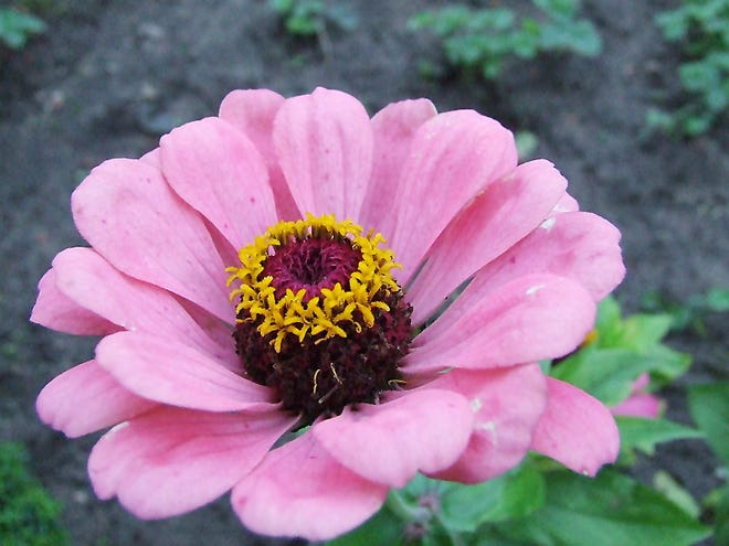 It's simple to save seeds from this year's beautiful zinnias to plant next year.
