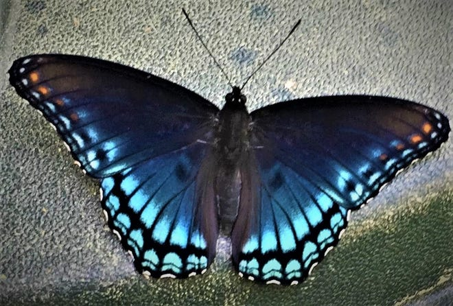 The red-spotted purple, with a hint of red and white alongside the blue, is a butterfly native to the eastern United States. [Photo courtesy Whit Gibbons]