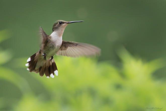 La Sociedad Audubon de Indiana celebra a los colibríes cada año durante la celebración de la migración de colibríes.  La próxima fecha se fijó para el 31 de julio.