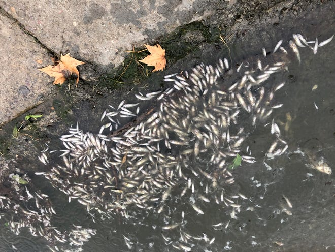 Dozens of dead fish litter the edges of Young Pond following the latest mass die-off there on June 28, 2021.