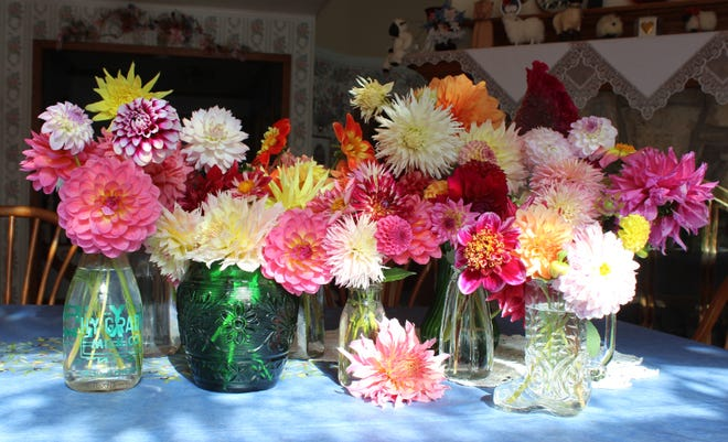 Cut dahlias can make a stunning display.