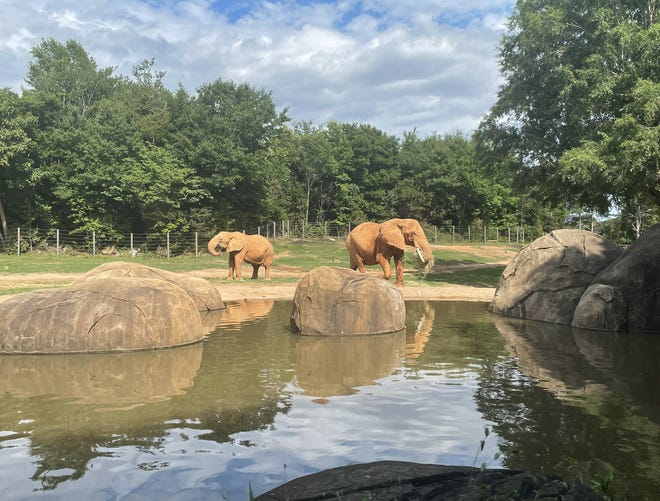 Two elephants 'social distance' at the North Carolina Zoo. Since COVID-related capacity limits have been lifted, the zoo will no longer require reservations for visitors.