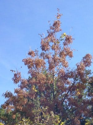 This black ash tree in northern Minnesota carries tens of thousands of seeds that feed its ecosystem.