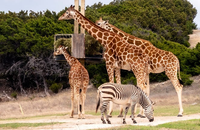 As summer temperatures in the Fossil Rim area over the next few weeks range from the 80s to upper 90s, guests should consider visiting earlier in the day when the air is cooler and the animals are more active.