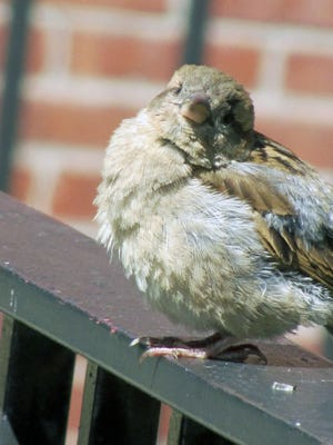 This bird enjoys a moment of rest after searching for something to eat in a South End garden.