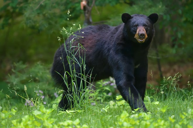 Black bears are being seen more often at Lake of the Ozarks.