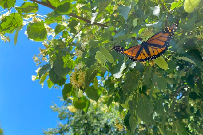St. Ann's Community releases monarch butterflies to recognize the past 15 months of the pandemic.