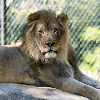 African lion at Henry Vilas Zoo in Madison