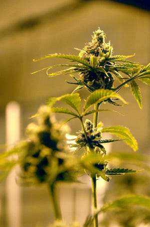 A flowering marijuana plant at the Native Nations Cannabis facilities on the Flandreau Santee Sioux Tribe reservation.