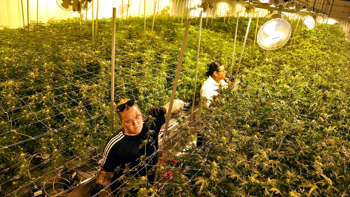 Flandreau tribe's cannabis outfit has 10,000 plants, expected to generate $1M a month