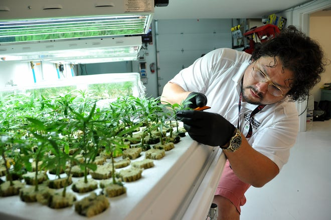 Anthony Flute, a manager at the facility, trims young marijuana plants during a tour of the Native Nations Cannabis facilities on the Flandreau Santee Sioux Tribe reservation.