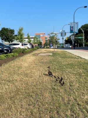 Several baby ducklings who were saved out of a sewer grate follow their mom.