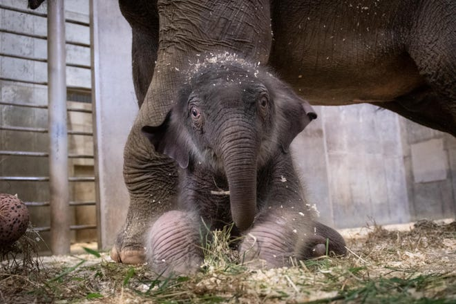 The two-week-old Asian elephant calf in his enclosure