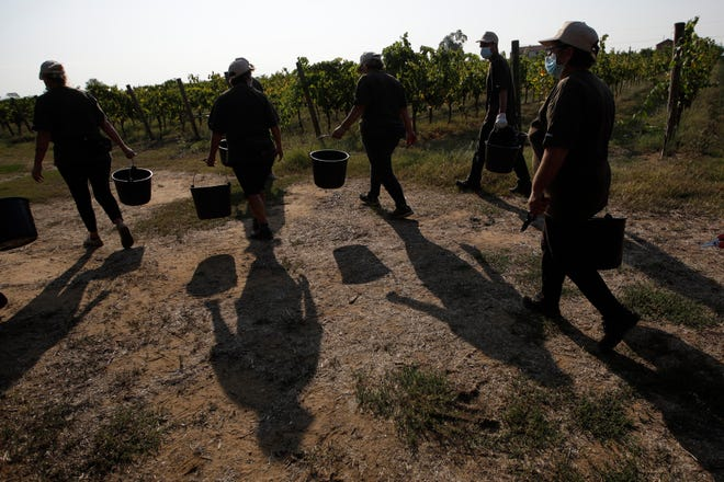 In this Sept. 16, 2020 file photo, workers walk on their way to harvest petit verdot grapes in the vineyard of Casale del Giglio, in Latina, near Rome.