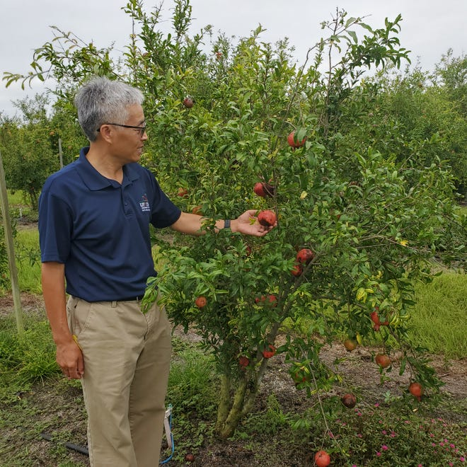Zhanao Deng is leading research on pomegranates.