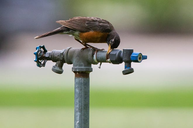 An American robin rubs its face on a water pipe at South Bend's Leeper Park in late June. Robins are among the various species of birds that have been afflicted with an illness that Indiana state biologists are still investigating.
