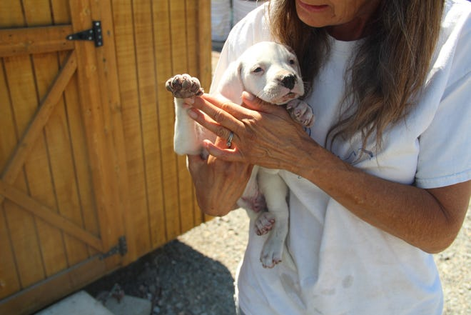 Ash was the only survivor of a litter of puppies in the Lava Fire. He is being cared for at the Rescue Ranch in Yreka.