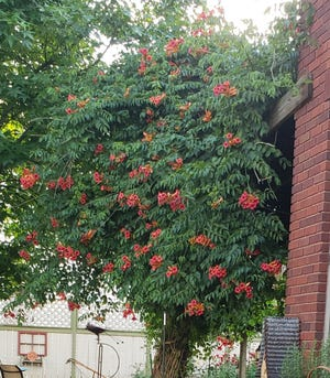 This 30-year-old trumpet vine is at the height of its glory this week, just in time for the Fourth of July. Dover's Sally Baker says this campsis radicans has provided much shade, plus hummingbird and butterfly activity, for her family at their Walnut Street home. PHOTO COURTESY OF SALLY BAKER