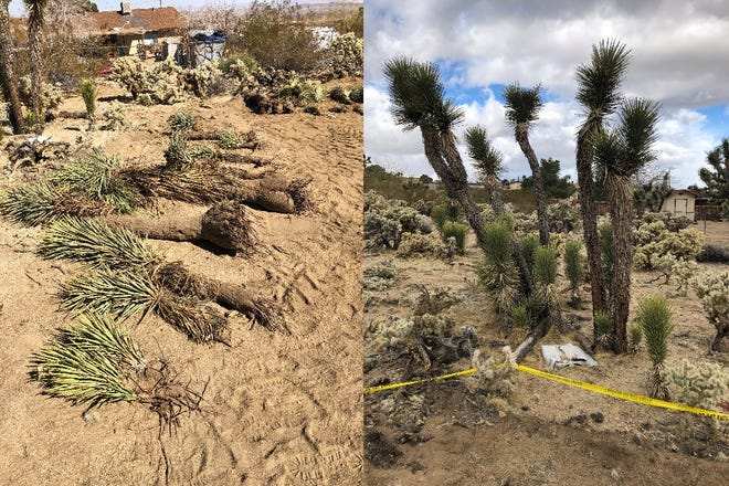 (Left) Western Joshua trees that were uprooted and buried can be seen unburied on property in the community of Joshua Tree. (Right) Other Joshua trees can be seen on the property where two developers were fined for allegedly killing 36 of the plants.