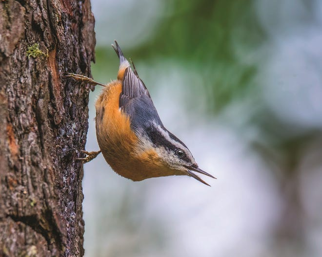 Red-breasted nuthatches are small, sprightly birds known for quickly hopping along trunks and branches in coniferous forests as they forage for food, often hanging upside-down.