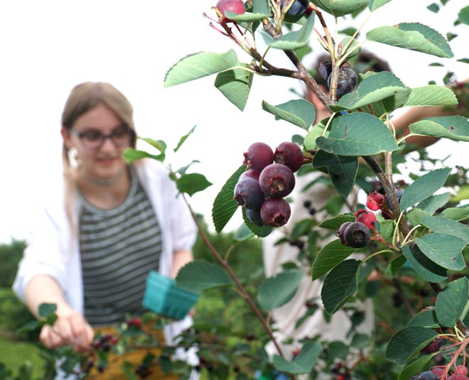 Saskatoon berries are picked at Lyon Township's Erwin Orchards on June 30. Over the past several years, multiple plans to develop the 181-acre property have been submitted to the township. The latest plan would keep part of the orchard operational.