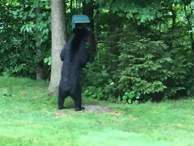 Frank Sweterlitsch found the local black bear in his back yard Thursday morning.