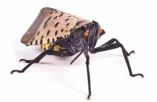 Spotted lanternflies have been spotted recently in Baden.