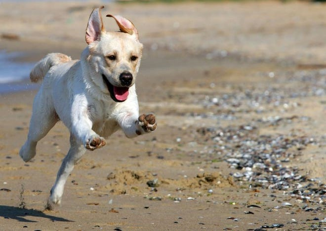 This dog appears to have the zoomies on a beach.