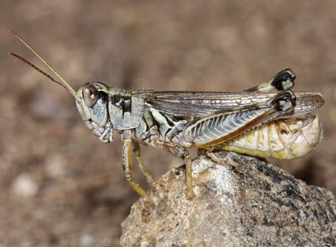 This undated photo provided by the U.S. Department of Agriculture's Animal and Plant Health Inspection Service shows a male migratory grasshopper. Besides feeding on grasslands, large grasshopper populations can also devastate cultivated crops such as alfalfa, wheat, barley, and corn.