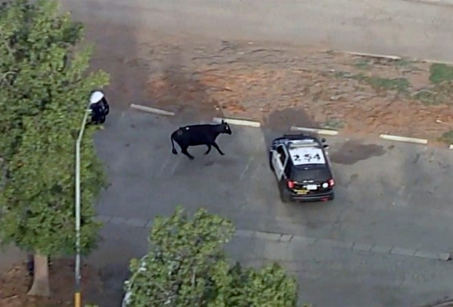 This aerial video still image provided by KABC-7 shows a cow and police car in the Whittier Narrows recreation area in South El Monte, Calif., on Thursday, June 24, 2021. The missing cow that was part of a herd of cattle that slipped out of a local slaughterhouse earlier in the week resurfaced on Thursday.