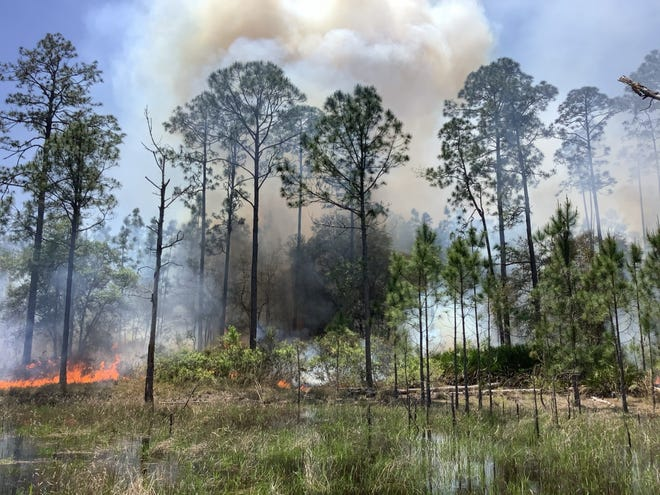 In April, land managers performed a controlled burn around longleaf pines by some wetlands in Putnam County's Putnam Lakes Preserve. The preserve is an example of land where conservation agreements could get more priority under a law Gov. Ron DeSantis signed this week.