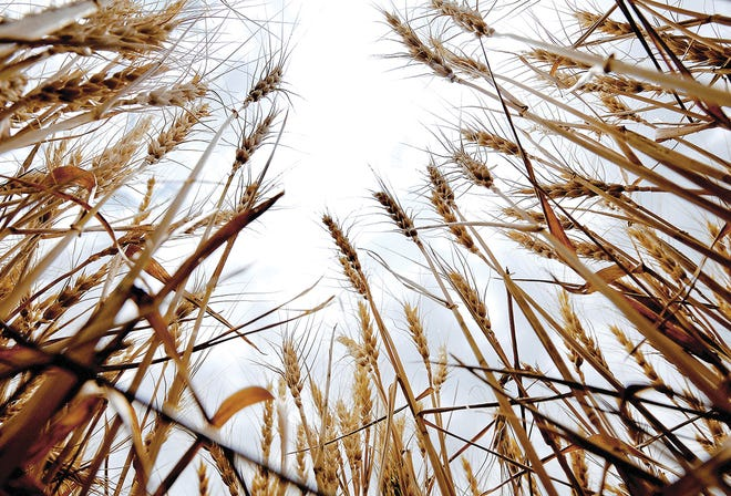 Cutting is underway for the 2021 wheat harvest in Finney County with officials seeing more wheat acres in the production cycle this year.