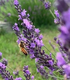 Hillcrest Lavender Farm in Sherburne offers the unique opportunity to enjoy the u-pick experience when the lavender is in bloom.