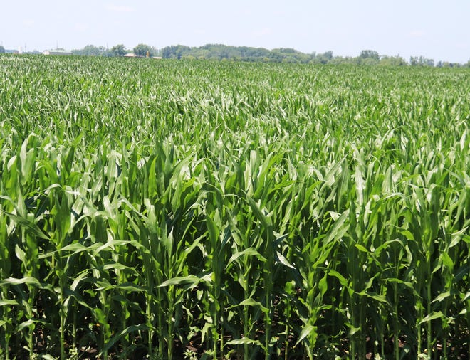 Corn in this field at the north end of Pontiac has shot up to well above knee high. Corn and soybean prices also shot up after a USDA report Wednesday.