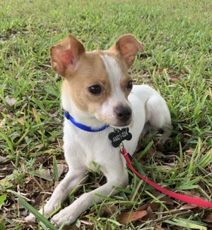 Oliver is available for adoption through AMI Pup Rescue, a foster-based animal rescue in Anna Maria.