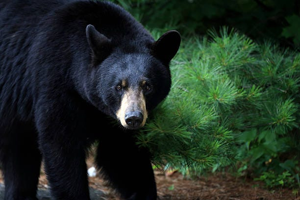 Black bear sow pictured in Ontario, Canada. Chapman said these bears have been seen in some areas of the city as they move around, including the east side of the city in the general area of Shunk Road and Marquette Avenue and the west side of the city near Foss Hill.