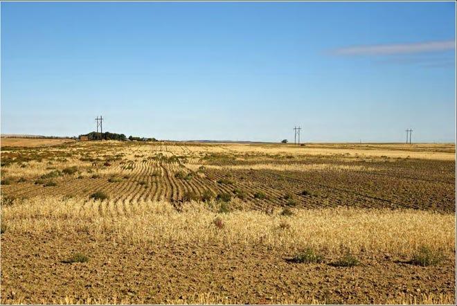A drought stricken wheat field near Wolf Point Montana