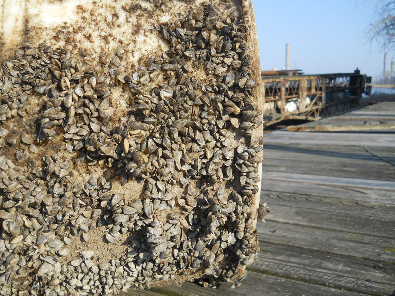Zebra mussels on barrel that was pulled from the Saginaw River in November 2011. Photo by Chris McCarus/MichiganNow