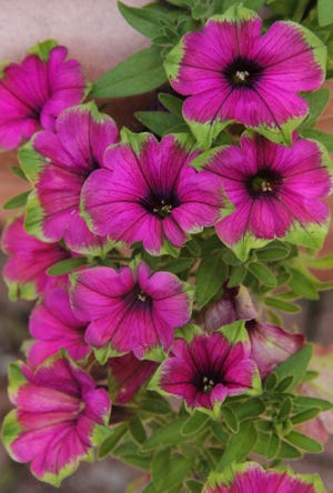 Supertunia Picasso in Purple petunia